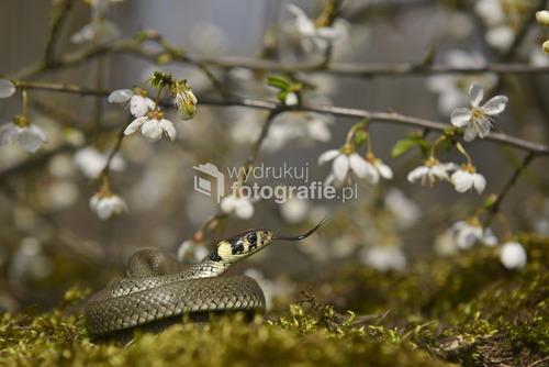 zdjęcie wykonane wiosną nad Drawą wiosenny zaskroniec zdjęcie zdobyło 1 miejsce w konkursie Lasów Państwowych w Pile
