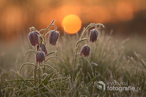 Szachownica kostkowata o wschodzie słońca w dolinie Noteci
