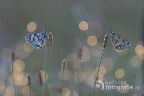 Motylki o wschodzie słońca