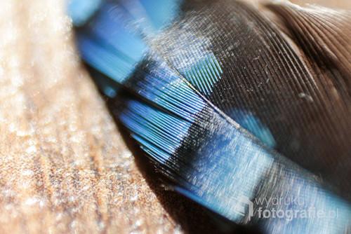Pióro sójki choć małe, wygląda bardzo zjawiskowo przez niebieski kolor i połysk.