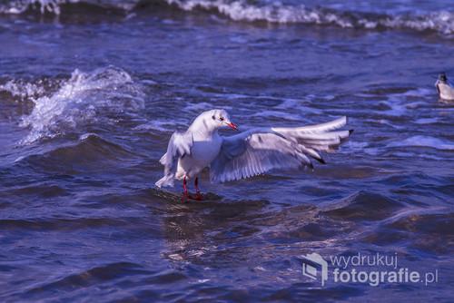 Zdjęcie zostało wykonane nad morzem, Bałtykiem, w czasie wycieczki, na długi, z dobrą pogodą, weekend listopadowy, z rodziną i znajomymi. Uchwycony moment przedstawia jedną z wielu mew (wyglądającą jakby stała na wodzie) podczas rzucania im do jedzenia kawałków chleba.