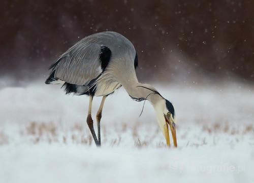Trudny czas zimy,czapla,szukająca,jedzenia w śniegu.