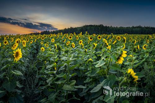 Jurajskie słoneczniki podczas niebieskiej godziny, w ciepłe letnie wieczory niebieska godzina utrzymuje się dość długo