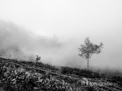Gęsta mgła na polach herbaty na wyspie Cejlon