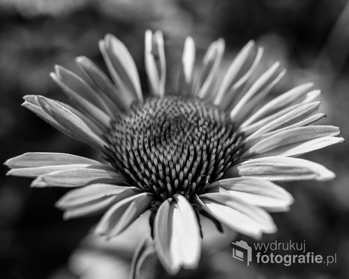 Fotografia czarno-biała powoduje bardziej stonowany obraz, w tym przypadku kwiat bardziej do mnie przemawiał w wersji pozbawionej barw.