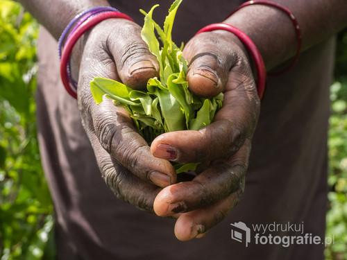 Zdjęcie zostało zrobione na Sri Lance. Kobieta trzyma w dłoniach świeżo zerwane liście herbaty.