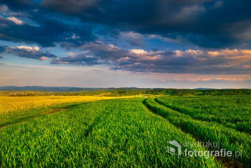 Fotografia przedstawia pola pszenicy sfotografowane w czasie złotej godziny