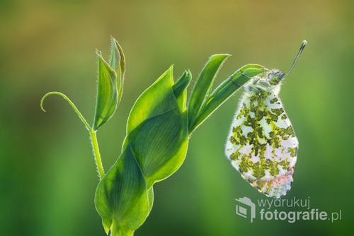 Zorzynek rzeżuchowiec (Anthocharis cardamines) Kadr powstał wcześnie rano, jeszcze wtedy kiedy motyl sobie grzecznie spał.