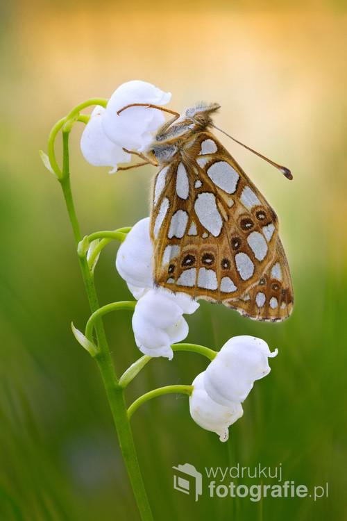 Dostojka latonia, perłowiec mniejszy (Issoria lathonia) gatunek motyla dziennego z rodziny rusałkowatych.