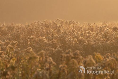 Zdjęcie powstało o wschodzie słońca w Puszczy Niepołomickiej. Puszcza Niepołomicka – kompleks leśny znajdujący się w zachodniej części Kotliny Sandomierskiej, ok. 20 km na wschód od Krakowa. Zajmuje teren położony w widłach Wisły i Raby. Składa się z kilku oddzielnych kompleksów, niegdyś stanowiących jedną całość. Główny kompleks zajmuje powierzchnię ok. 110 km². Rozciąga się on między Niepołomicami, a Proszówkami, Baczkowem i Mikluszowicami. Nazwa Puszczy Niepołomickiej wywodzi się od staropolskiego słowa niepołomny, czyli niemożliwy do pokonania, zniszczenia, wytrzebienia. Przypuszcza się więc, że stąd właśnie pochodzi drugi człon nazwy puszczy. Zatem dawniej puszcza niepołomna byłaby lasem trudnym do wykarczowania, do zagospodarowania rolniczego, bardzo niedostępnym.