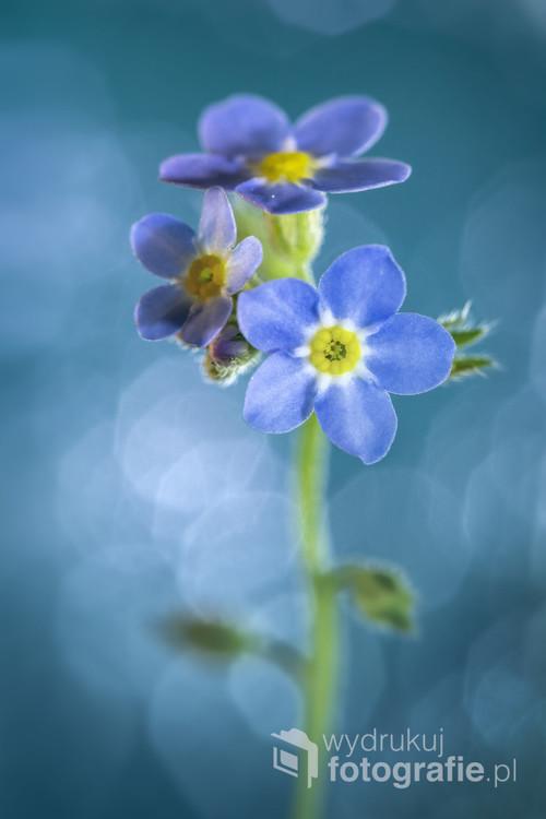 Niezapominajka maleńka roślina, co polskiego nieba błękit przypomina...