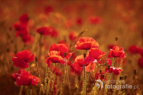 Chwieją się w polu maki purpurowe Chwieją się maki wśród pszenicy złotej, Pośród srebrnego kołyszą się żyta Chwieją się maki... Wiatr rytmiczną falą Czerwone kwiaty ich z lekka kołysze...