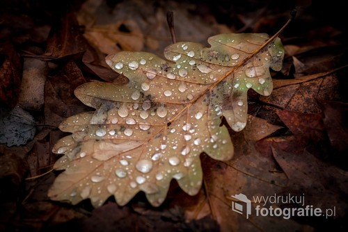 Liść dębu z Parku Zdrojowego w Głuchołazach, krótko po deszczu