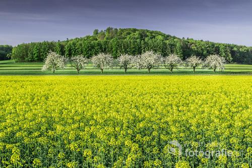 Okolice Góry św. Anny (woj. opolskie) znane są z malowniczych alei kwitnących wiśni. Niektóre stoją rzędami na miedzach między polami. Raz na kilka lat można trafić na kwitnący w tym samym czasie rzepak