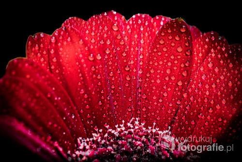 Makrofotografia z kroplami wody na płatkach kwiatu gerbery