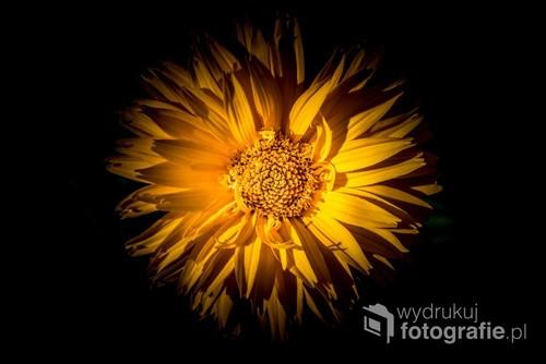 Fotografia wykonana w dzień. Kwiat cały czas rósł sobie w ogrodzie, także po wykonaniu zdjęcia. Efekt uzyskany dzięki odpowiedniemu ustawieniu aparatu i obróbce obrazu