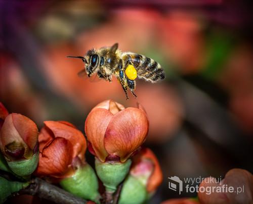 pszczoła uchwycona w locie obiektywem makro to niecodzienne zjawisko