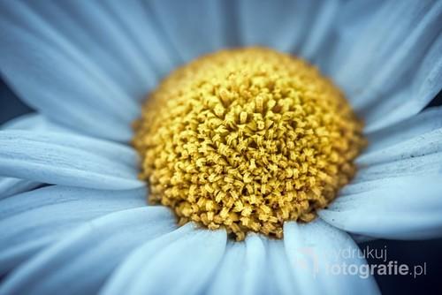Wnętrze kwiatu margaretki