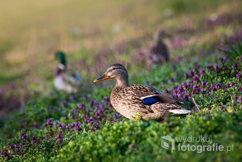 W samym centrum Opola, na wałach przy Odrze, wczesnym rankiem można spotkać dzikie kaczki