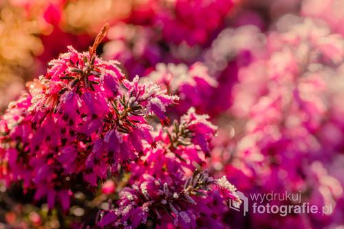 Wiosenne kwiaty w ogrodzie. Fotografia wykonane najczęściej Trioplanem 50mm, Pentaksem 100mm Macro lub Pentaksem 200mm