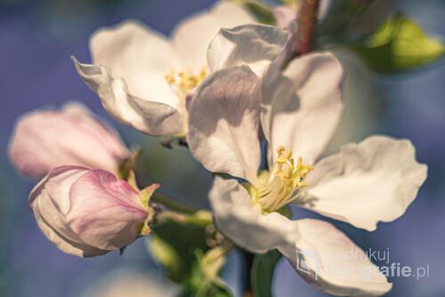 Wiosenne kwiaty jabłoni na tle błękitnego nieba