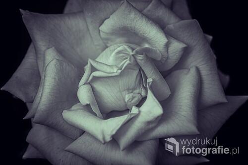 Piękna róża o nisko nasyconych barwach na czarnym tle