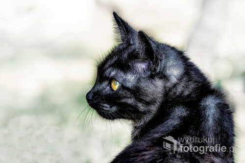Piękny czarny młody na pól dziki kot, spotkany zupełnie przypadkowo