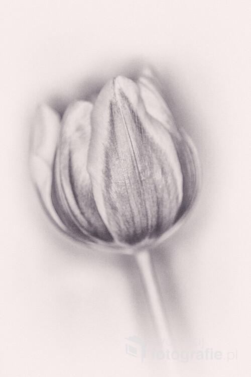 wiosenny tulipan w wersji retro