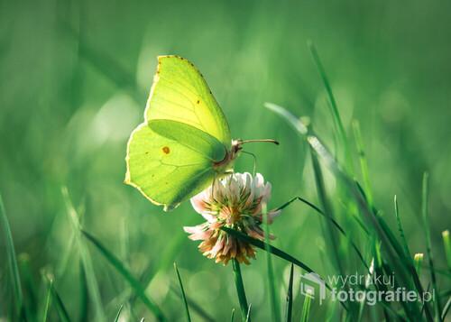 żółty motyl na kwiatku białej koniczyny polnej