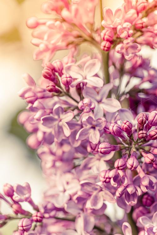 kwiaty bzów a właściwie lilaka