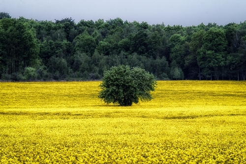 pole rzepaku na skraju lasu z wielkim krzewem w środku