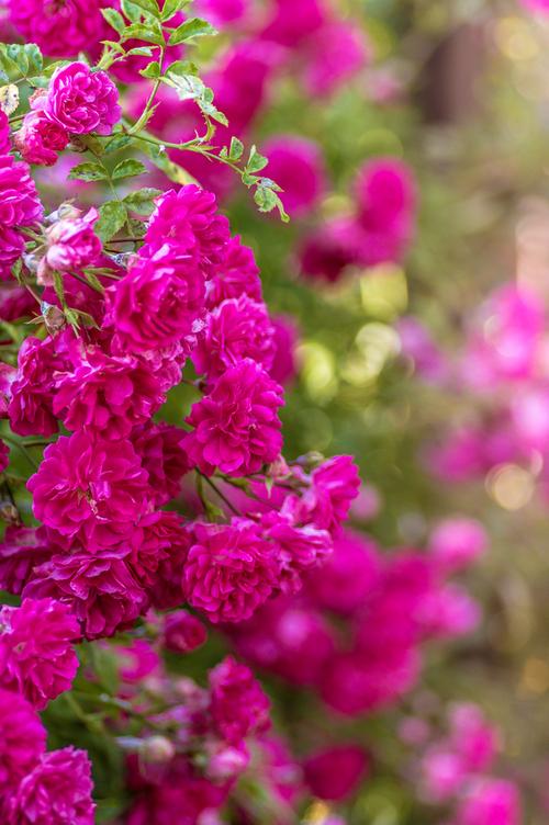 drobne róże w układzie pionowym