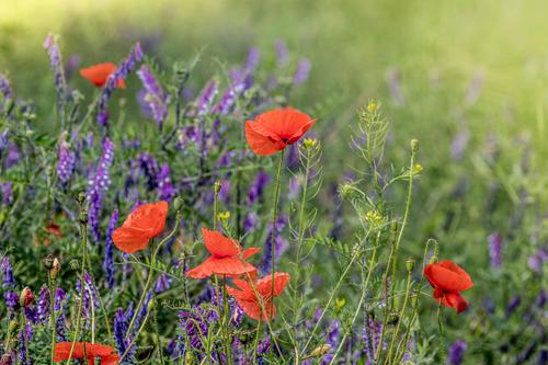 dzika łąka z polnymi makami i innymi kwiatami