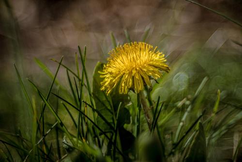 Zwany mleczem żółty mniszek lekarski w zielonej trawie