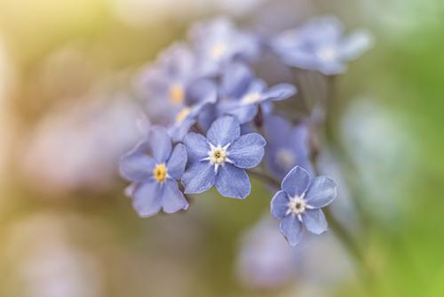 błękitne niezapominajki w jasnych pastelowych barwa na zielonym tle