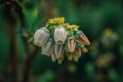 piękne kwiaty borówki amerykańskiej na ciemnozielonym tle