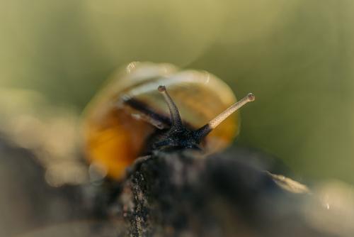 Mały ślimak (wstężyk) ujęty obiektywem makro na ładnie rozmytym tle