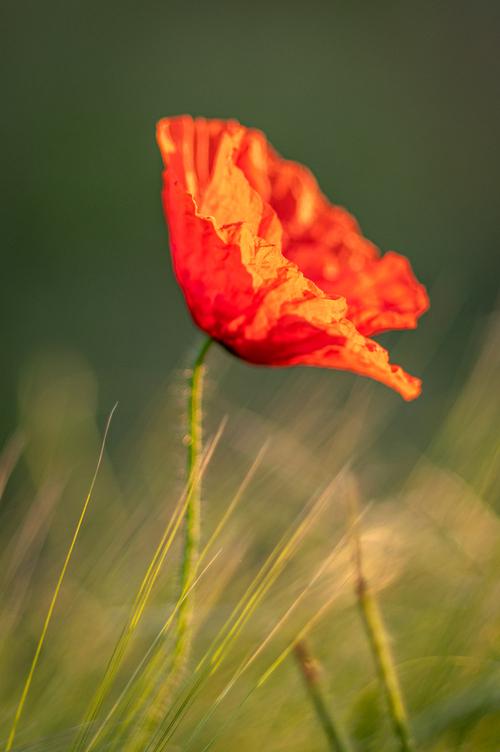 Polny czerwony mak wśród kłosów zboża. Fotografia pionowa