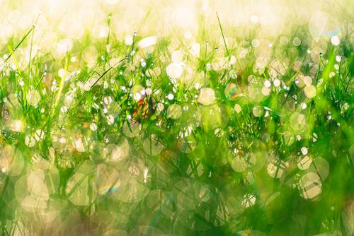 Krople rosy na soczystej zielonej trawie o świcie