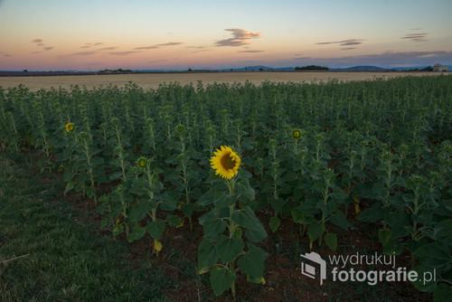 Jedyny słonecznik, a wkoło tylko pustka ... Zdjęcie wykonane we Francji