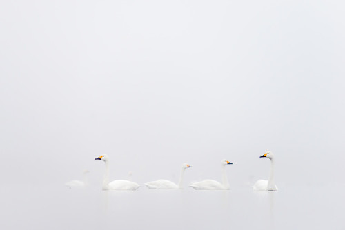 Łabędzie czarnodziobe zimujące na stawach w Grzybnie. Zdjęcie zajęło I miejsce w konkursie Fotograf Roku 2017 Związku Polskich Fotografów Przyrody w kategorii