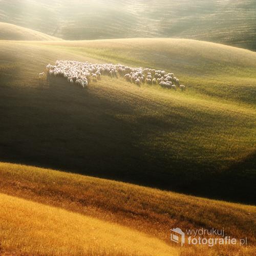 Owce na Toskańskich wzgórzach hasające. 66 to liczba jaką udało mi się uzyskać po pierwszym liczeniu, a w następnych okazała się że jest ich więcej.