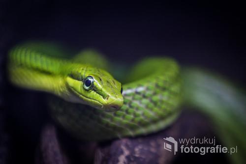 Oko zielonego węża hipnotyzuje i przyciąga. Zielony kolor gada uspokaja i budzi przyjemne skojarzenia.