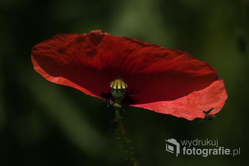Czerwony mak, namiętny kwiat. Symbol życia, miłości i krwi. Obok maku nie można przejść obojętnie. Budzi zachwyt na całym świecie.