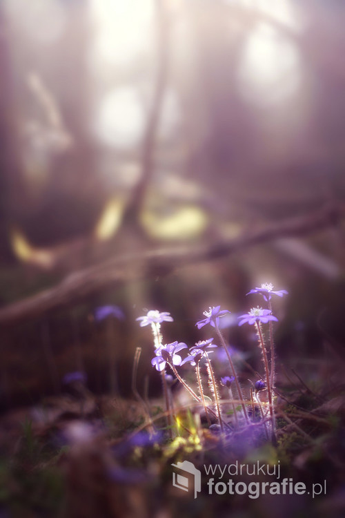 Wiosną las rozkwita bogactwem barw i łanem kwiecia, a promienie nowo narodzonego słońca swoim dotykiem zachęcają do dalszej wędrówki :)