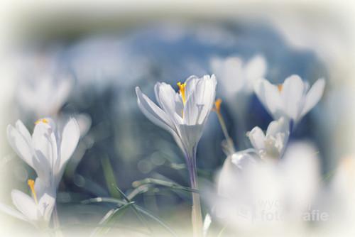 Pierwsi posłańcy wiosny