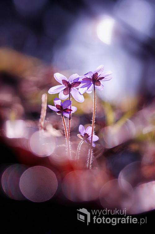 Wiosna w lesie wychwala nowo narodzone słońce