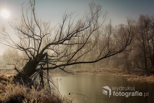 Połamane drzewo chwiejące się nad zakolem Warty o poranku.