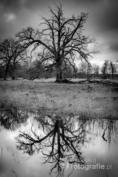 Drzewo i jego odbicie w wodzie.