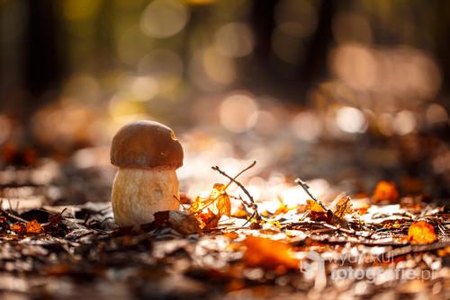 Wybrałem się jesienią na grzyby które chciałem uwiecznić na matrycy i do koszyka, uchwyciłem prawdziwka gdy słońce przebijało się przez drzewa bardzo nisko. Fotografia zrobiona na Jurze Krakowsko-Częstochowskiej niedaleko Piaseczna.